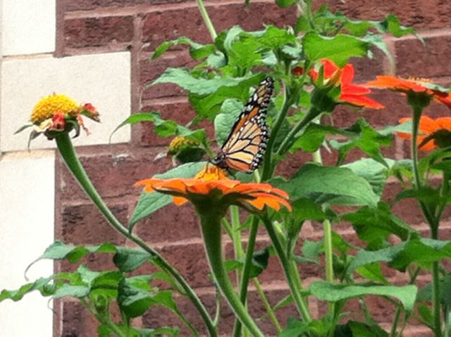 Monarch on the Mexican sunflowers