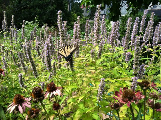 Swallowtail on the anise hyssop